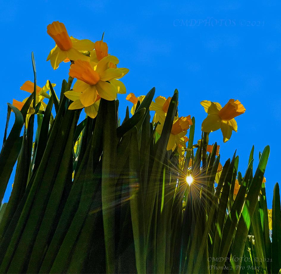 Light Through Daffodils