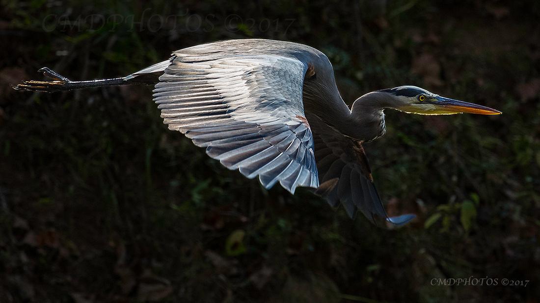 ENO Blue Heron