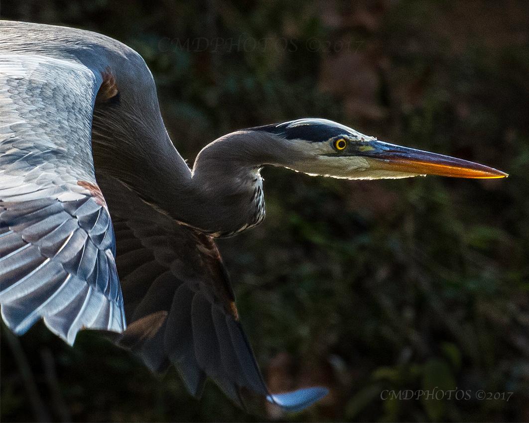 ENO Blue Heron Close