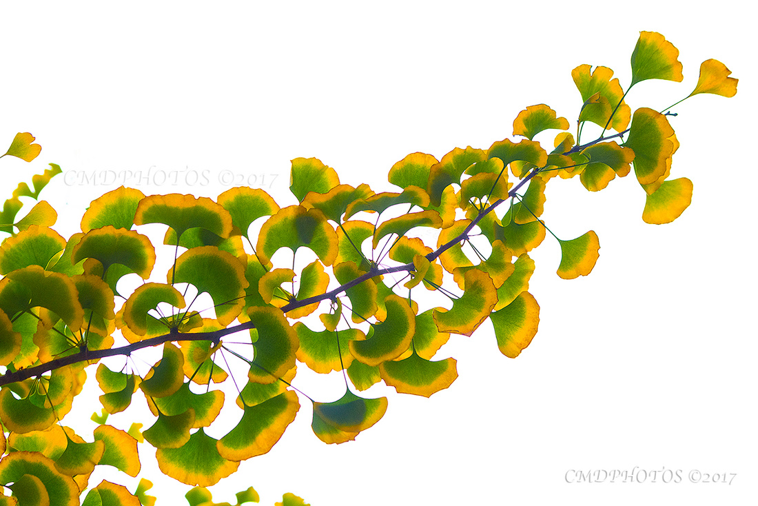 Fall Ginkgo