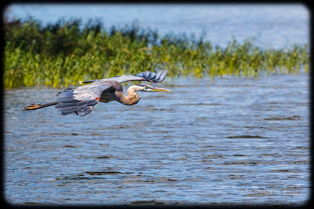 Heron on Grass Edge