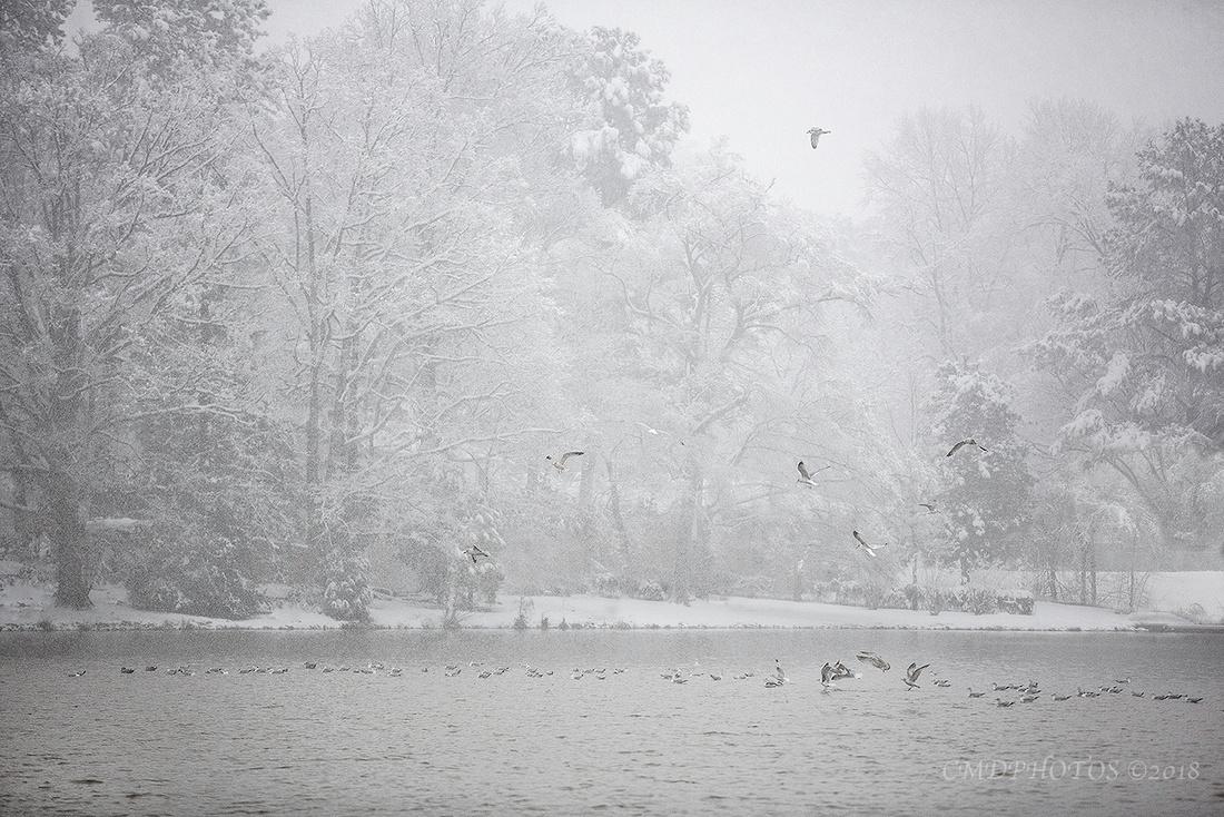 Snow Gulls