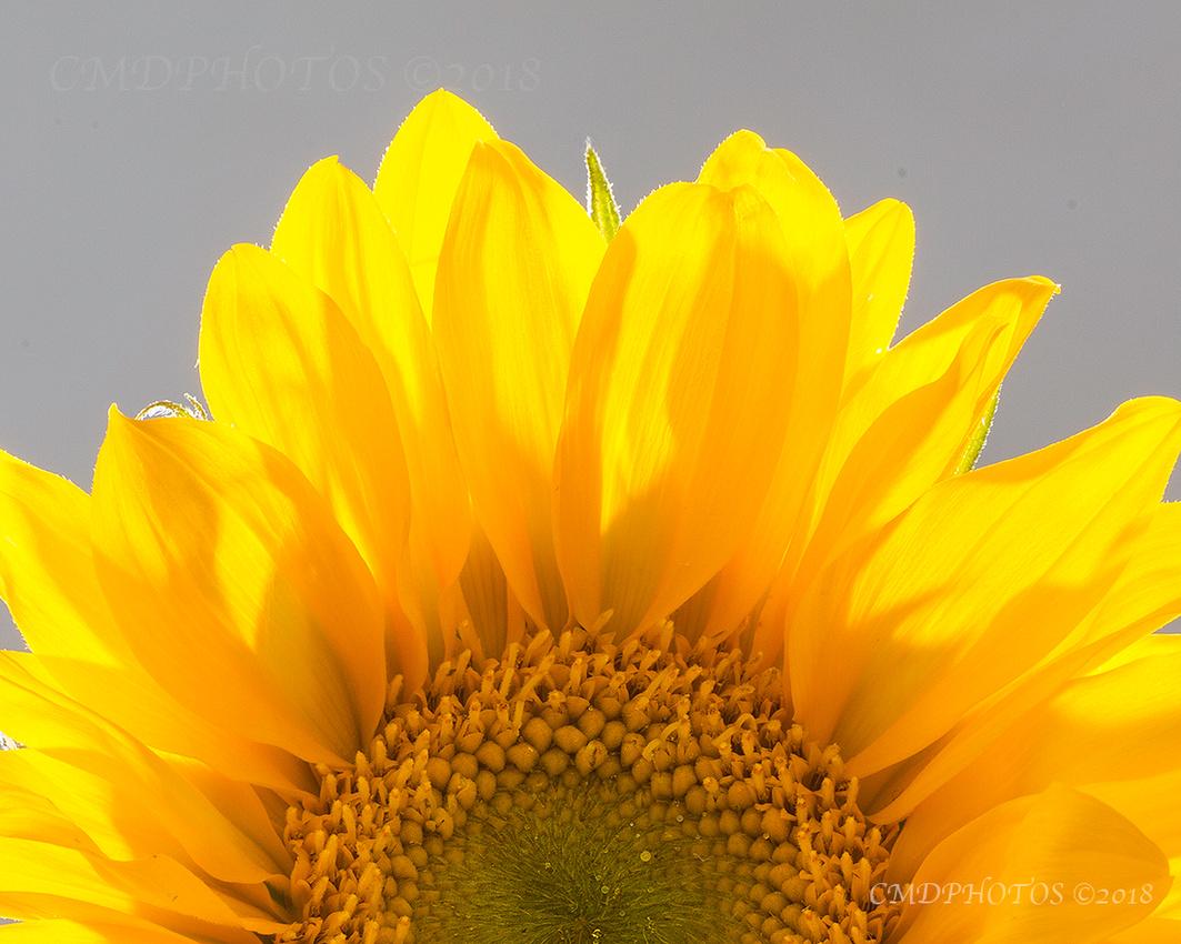Sun Up Sunflower