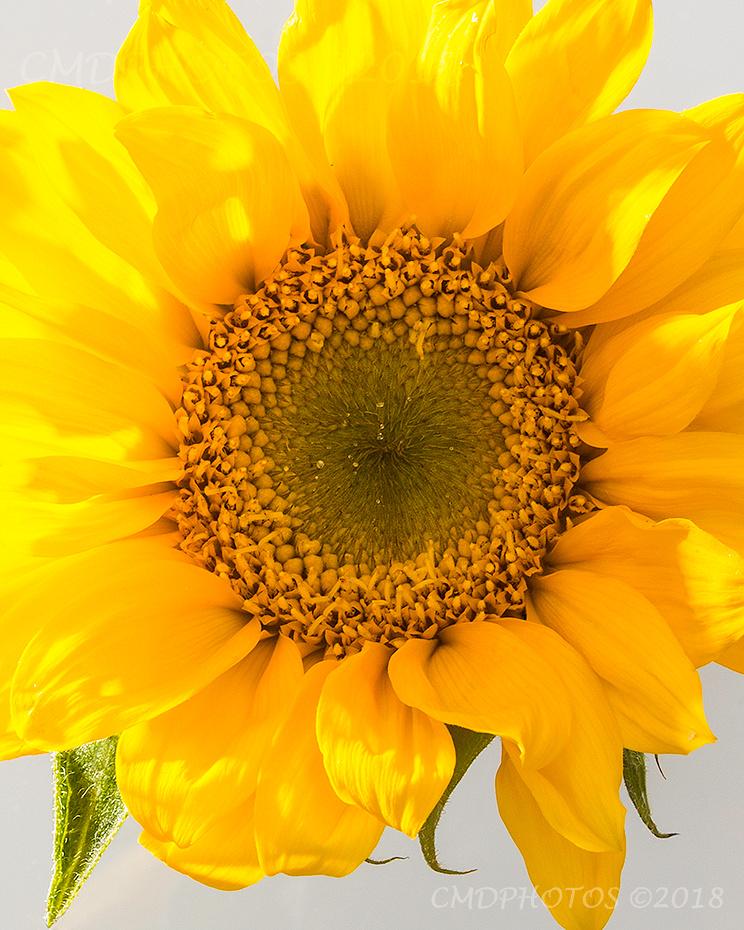 Depth of a Sunflower