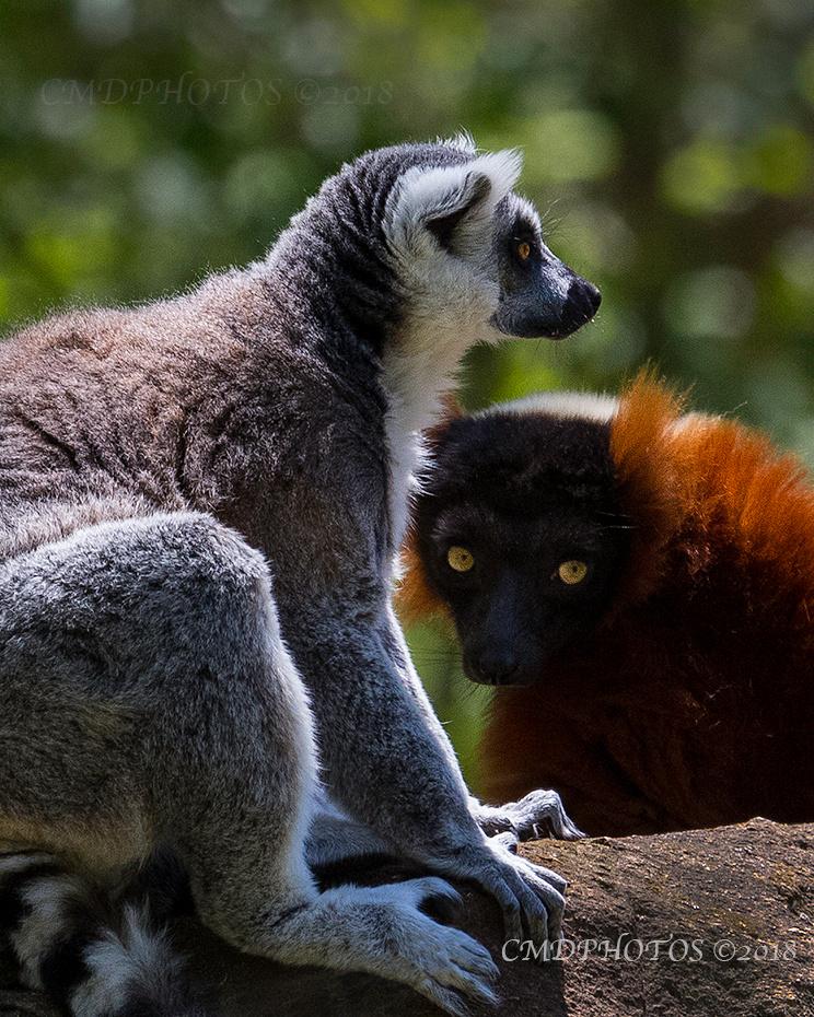 Look of Lemurs