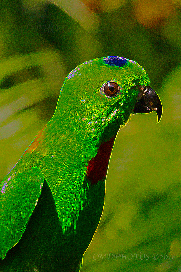 Blue Crowned Hanging Parrot