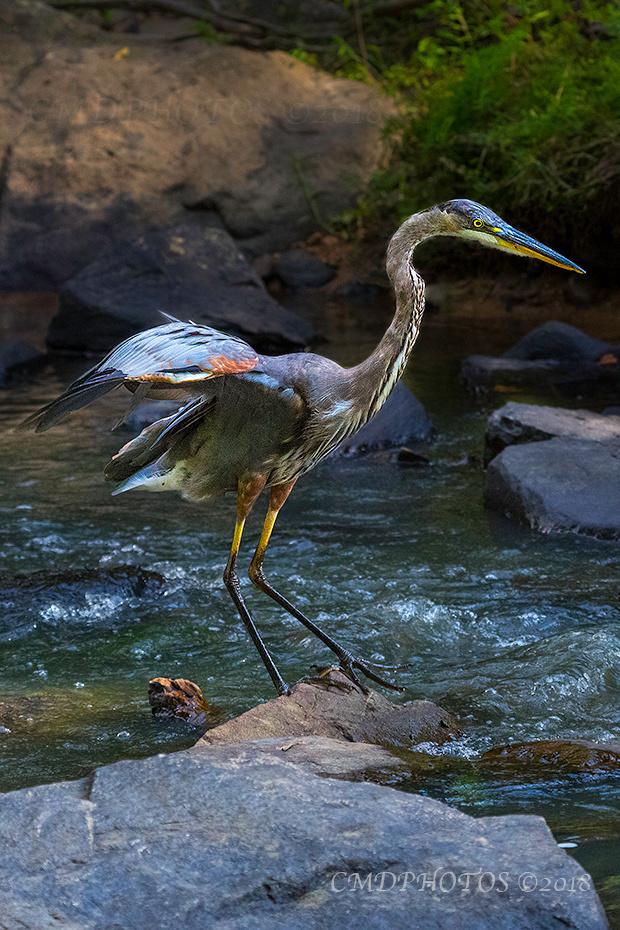Hurried Heron