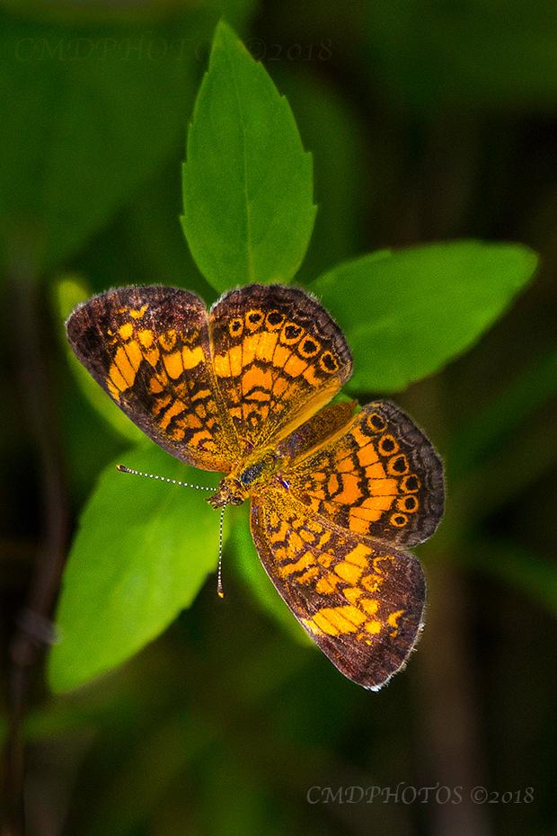 Butterfly Star