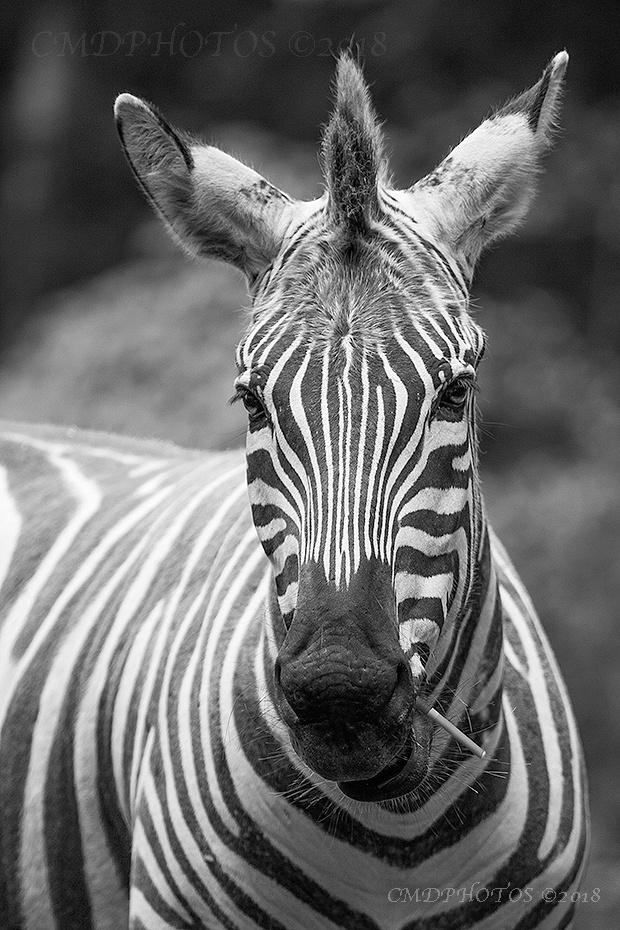 Smokin Zebra