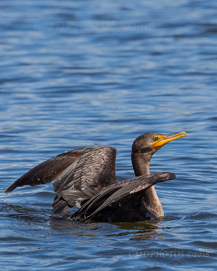 Cormorant in Blue