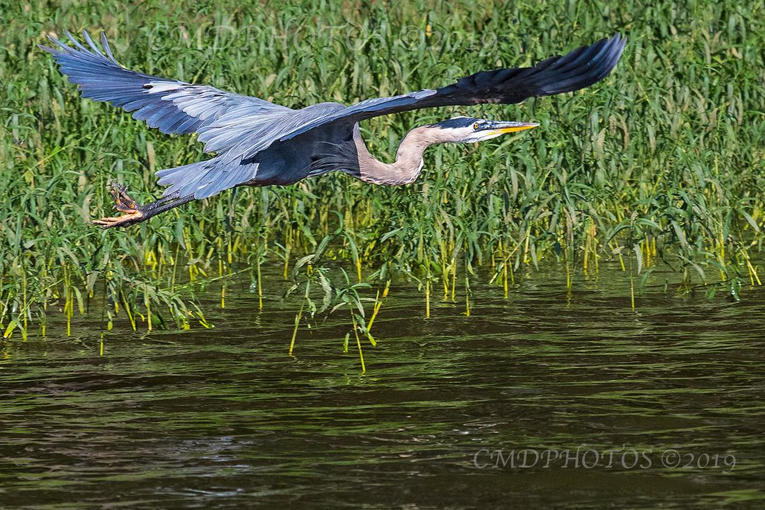 Heron in Reeds color