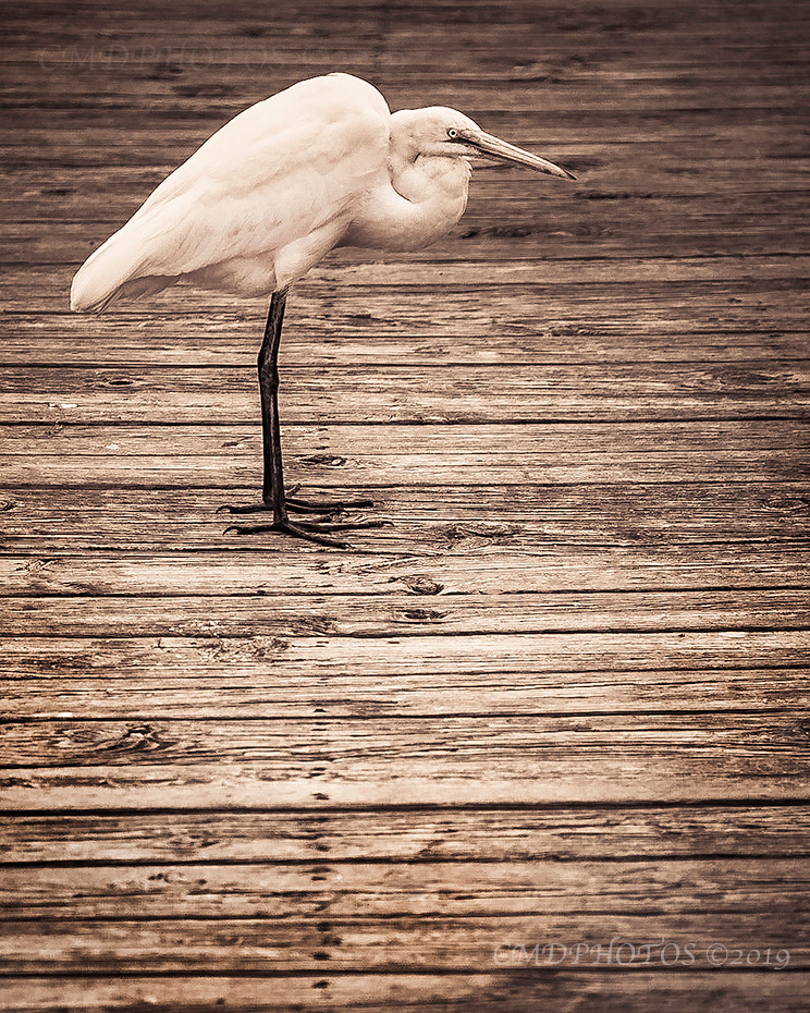 Decked Out Egret