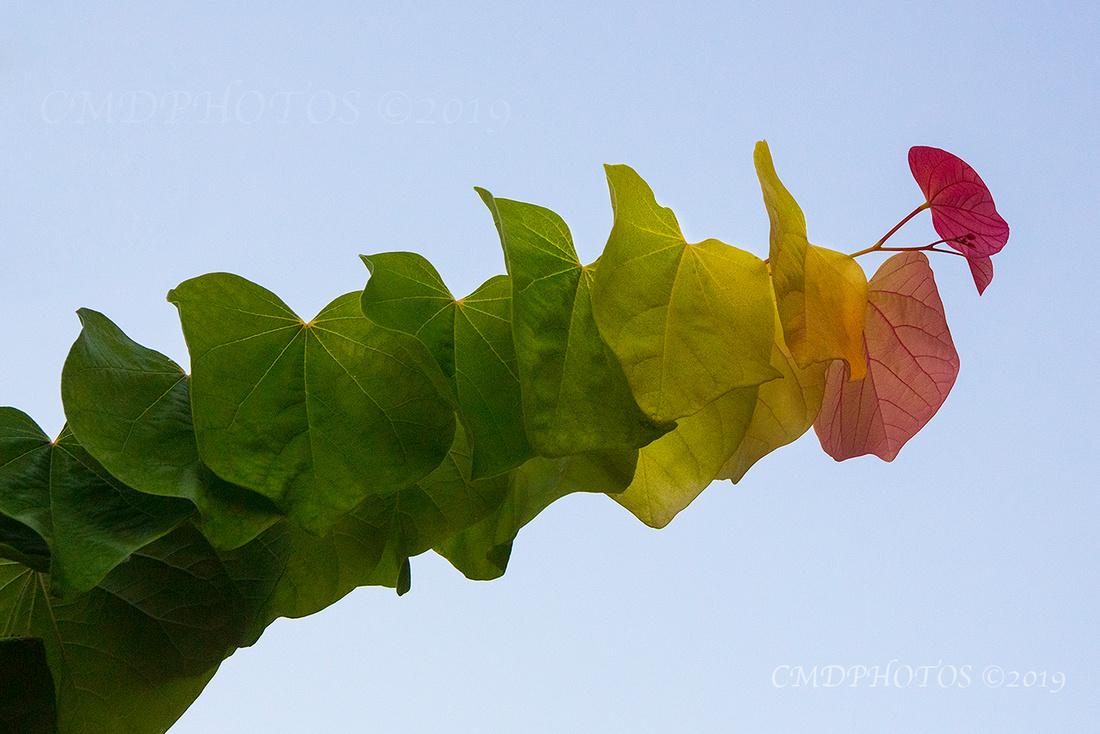 Red Bud Caterpillar