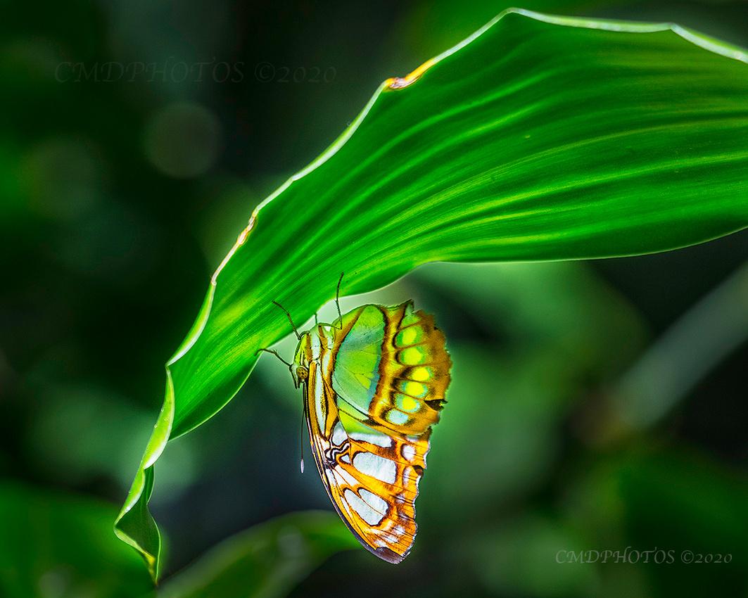Hangin Butterfly