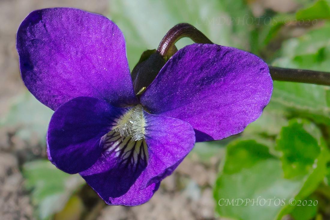 Wild African Violet