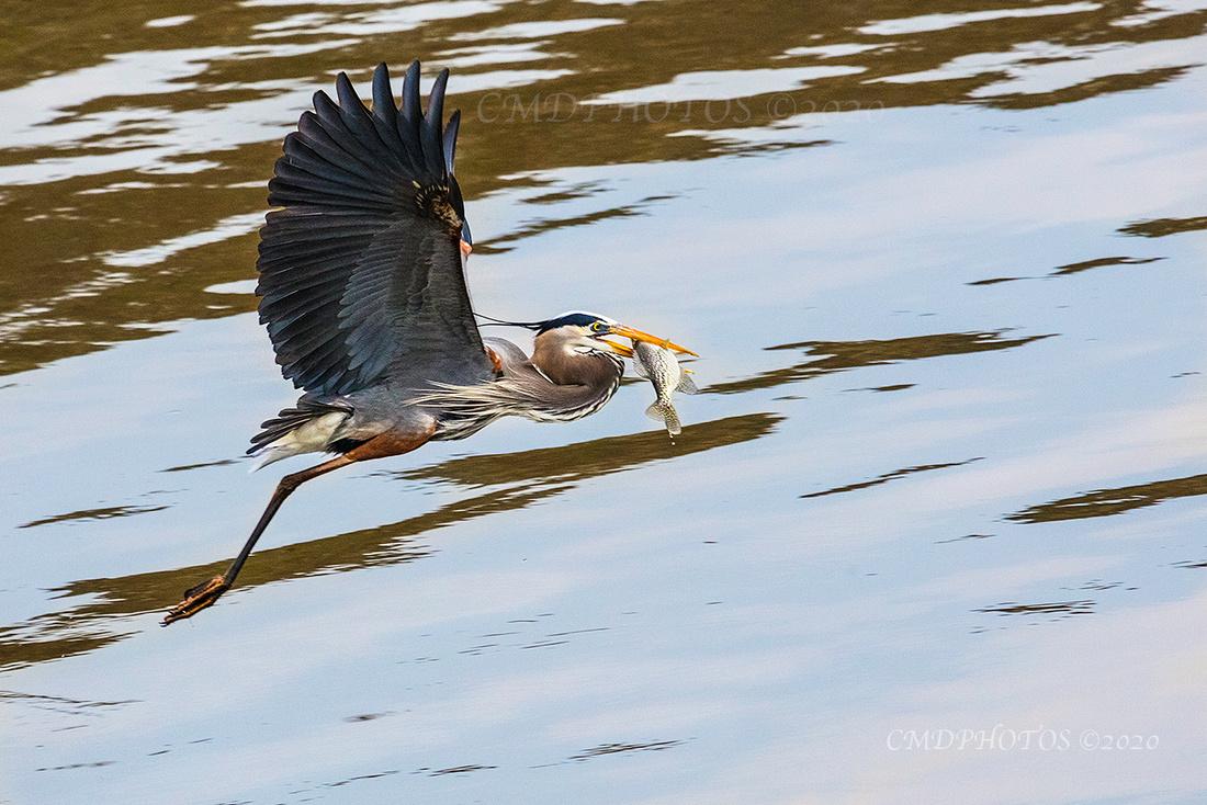 Heron's Catch