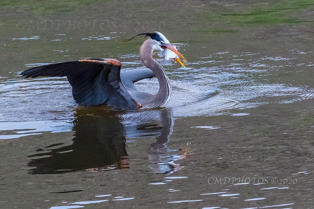 Heron's Catch 3