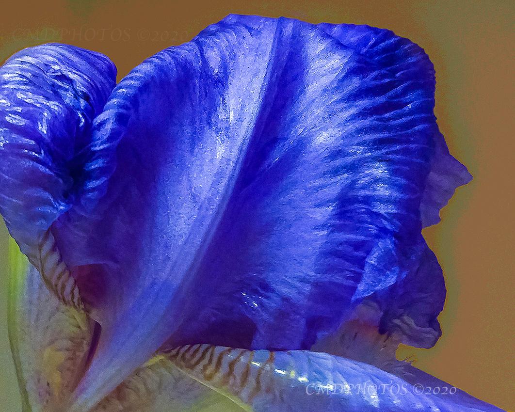 Dying Iris