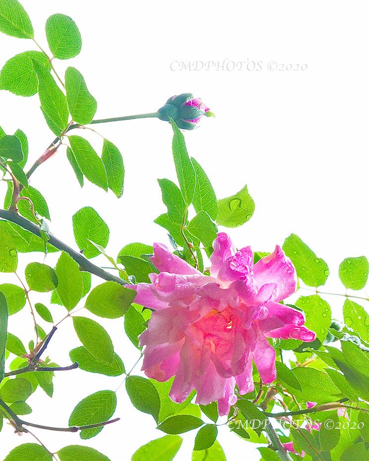 Rose in the Sky
