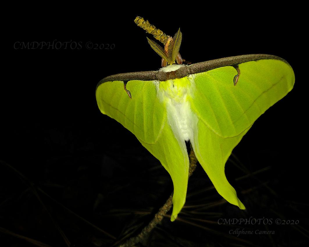 Luna Moth Late Nite Catch