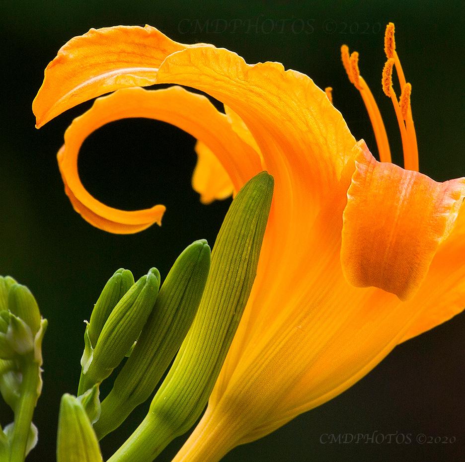 Lilly Flower Design