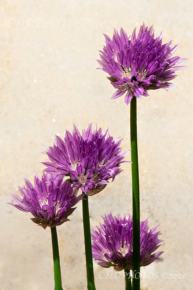 Clover Like Flower